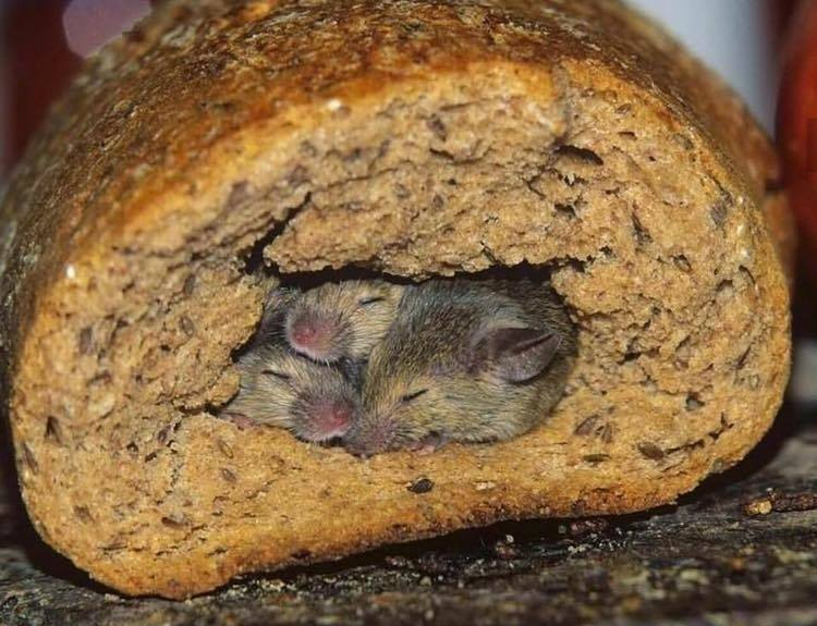 myszy w chlebie