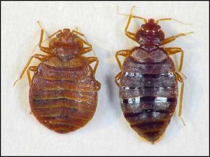 Zwalczane owady: pluskwy, karaluchy, karaczany, muchy, muszki, mrówki, komary, mole, pchły i ...